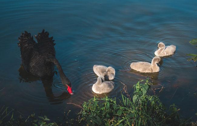 Tjedni pregled: Tko je crni labud