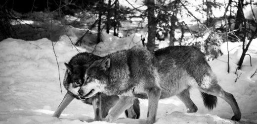 Vukovi u janjećoj koži